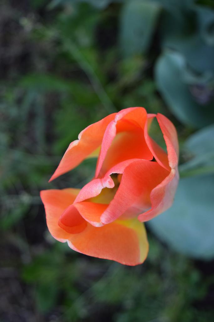 Steve's tulip 1 april 16