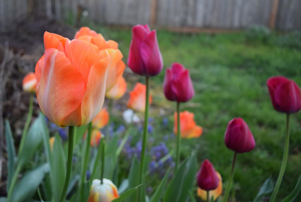 creamsicle tulip