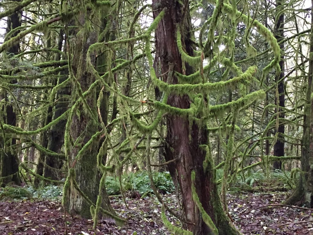 mossy-trees-1
