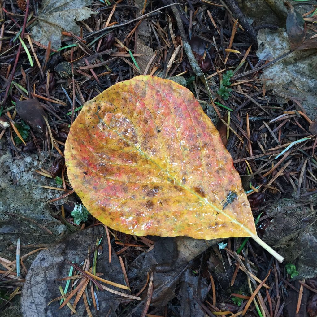 yellow-orange-leaf